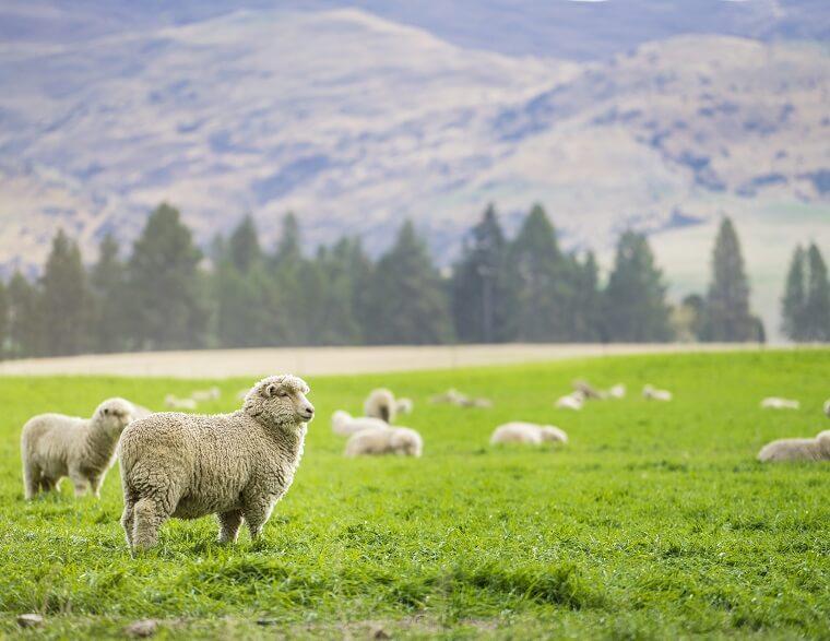 ニュージーランドの羊と山
